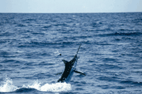 picture of a Marlin jumping out of the water