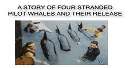 A Story Of Four Stranded Pilot Whales And Their Release